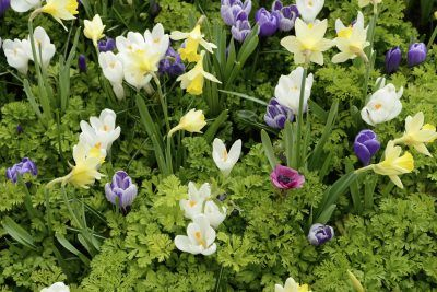 Companion Plants For Daffodils What To Plant With Daffodils Daffodil Gardening Daffodils Planting Companion Planting