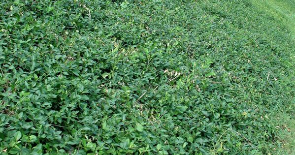 Wintercreeper Ground Cover | Evergreen wintercreeper ...