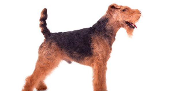 Welsh Terrier Puppies For Sale In Minnesota Welsh Terrier Puppies Terrier Puppies