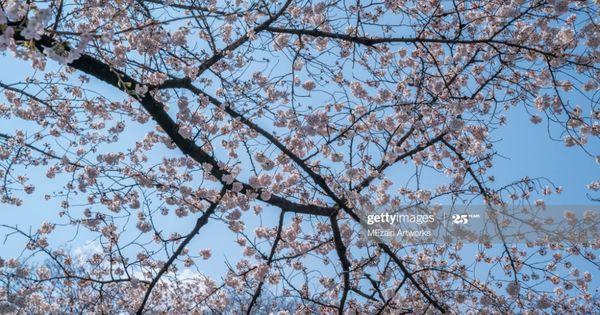 Sakura Cherry Blossom Tree At Ueno Park Tokyo During Spring Season Ueno Park Cherry Blossom Blossom Trees