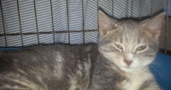 Adopt Smokey Kitten On Grey Tabby Kittens Kittens Domestic Short Hair