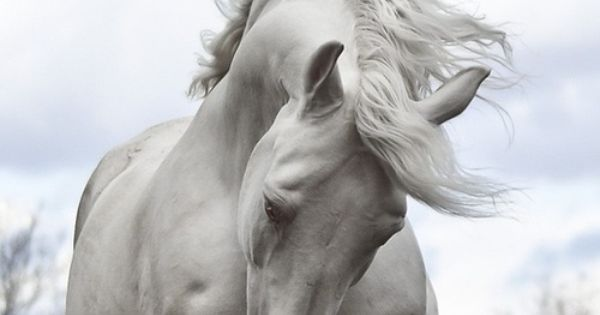 Absolutely beautiful snow white horse