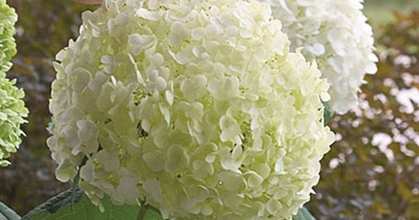 Garden hydrangea: The shrub is easy to grow, needing little fussing beyond