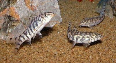 Yoyo Loach Botia Almorhae Fish Aquarium Fish Tropical Fish