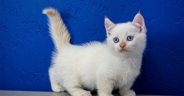 Munchkin Kittens For Sale Buy Munchkin Cat Near Me Munchkin Kitten Munchkin Kittens For Sale Munchkin Cat
