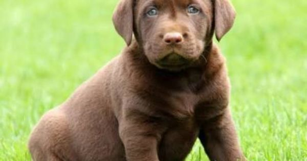 Chocolate Lab Puppies For Sale Google Search Lab Puppies Chocolate Lab Puppies Puppies