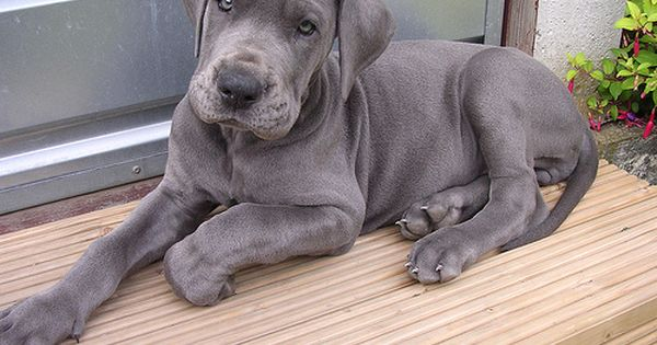 Great Dane Dog Breed Information Dane Puppies Dane Dog Great