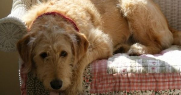 Labradoodle With Hair Type Coat Apricot With Cream Highlights