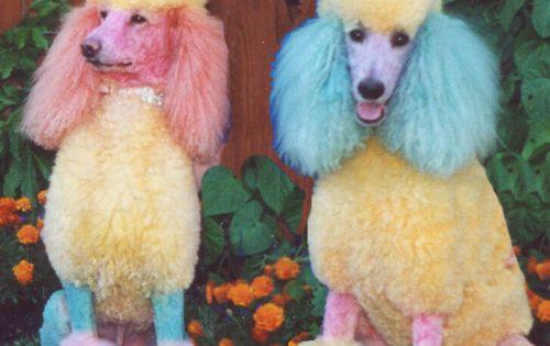 haha! kool-aid poodles!