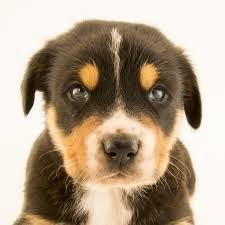Also Effects To Modify The Actions Of A Pet Either For It To Aid In Specific Tasks Or Undertake Specific Jobs Or For It To Can Beautiful Dogs Dog Breeds Dogs