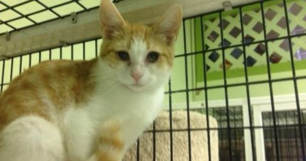 Adopt Sherbet On Orange And White Cat Family Pet White Cat