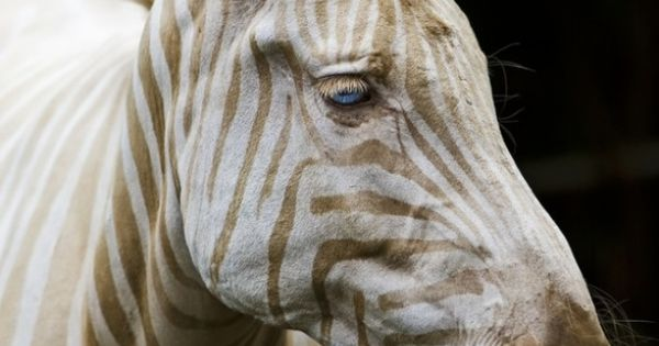 Born in Hawaii, Zoe is the only known captive golden zebra in