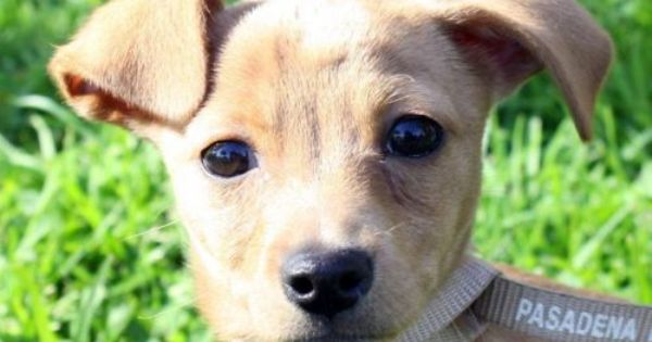 Valentine Is A Chiweenie Chihuahua Dachshund Mix Puppy About 2