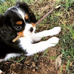 Tri Color Cavalier King Charles Spaniel Puppy Have All Four Colors Available Ca King Charles Cavalier Spaniel Puppy King Charles Dog Spaniel Puppies For Sale
