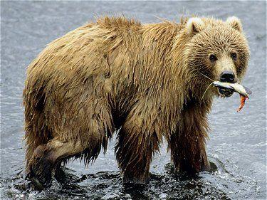 Kodiak Bears Bears Of The World Kodiak Bear Brown Bear Kodiak Brown Bear