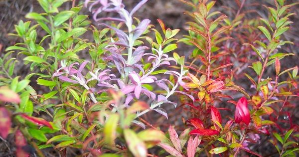 Full Size Picture Of Scrub Blueberry Rosa S Blush