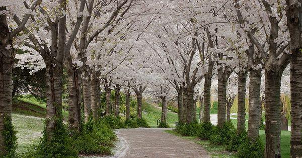 My Cherry Blossoms Are Featured On Fine Art America Mon Cerisier En Fleurs En Vedette Sur Fine Art America D Framed Art Prints Fine Art America Art