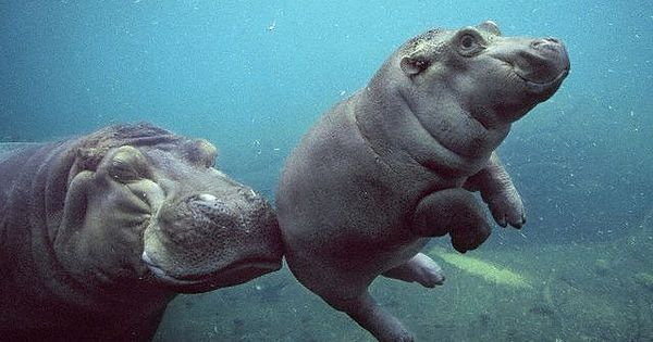Funani, an African river hippo at the San Diego zoo, gives her