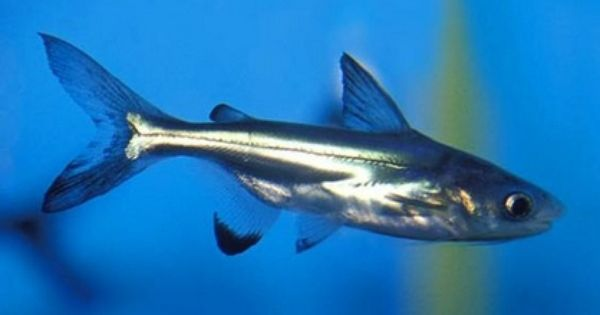 Iridescent Shark - Pangasius hypophthalmus | Sharks ...