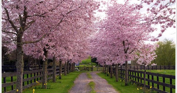 Driveway Of Blossom Trees Maybe Crab Apple Gardening