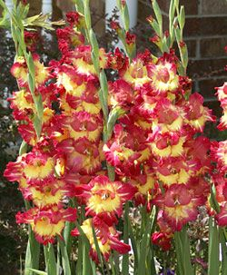 Fun Time Gladiolus Bulb Flowers Gladiolus Bulbs Gladiolus