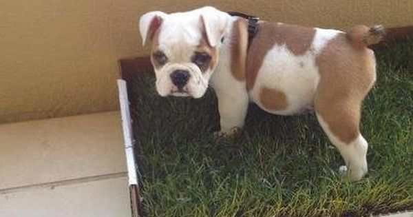 Potty Pads Are So Last Year Try A Fresh Patch Of Real Grass