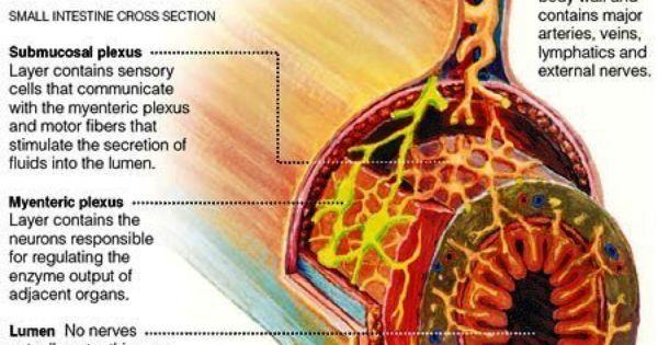Theosophy Watch Enteric Nervous System Gut Brain Nervous System