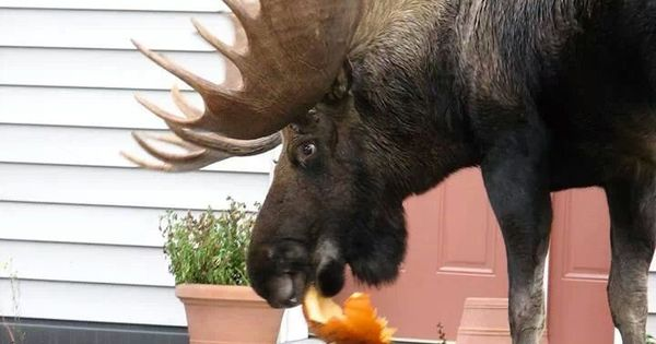 Damn Moose Eating My Pumpkin Moose Animal And Wildlife