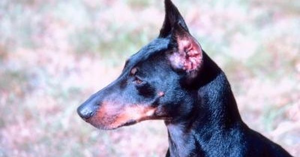 Characteristics Of A Chihuahua Manchester Terrier Mix Manchester