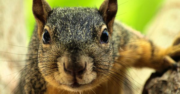 evil squirrel   ode to squirrel   Pinterest   Squirrel