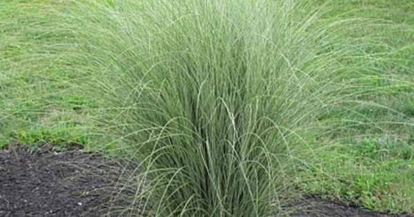 Miscanthus sinensis 39 morning light 39 one of my favorite for Short variegated grass