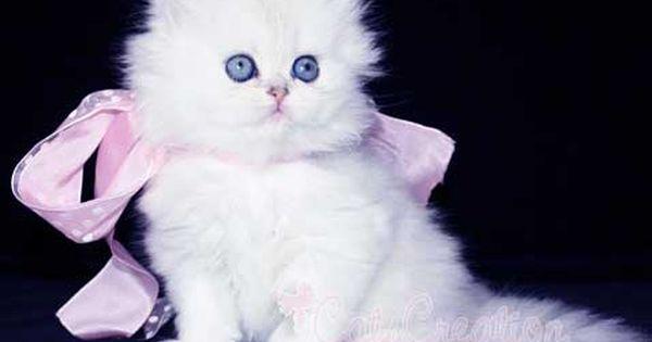 Teacup Persian Cats Small Teacup Persian Kitten Teacup White Persian Kittens For Sale Teacup Kitten Teacup Persian Cats Teacup Cats