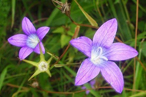47+ Flores silvestres azules pequenas ideas