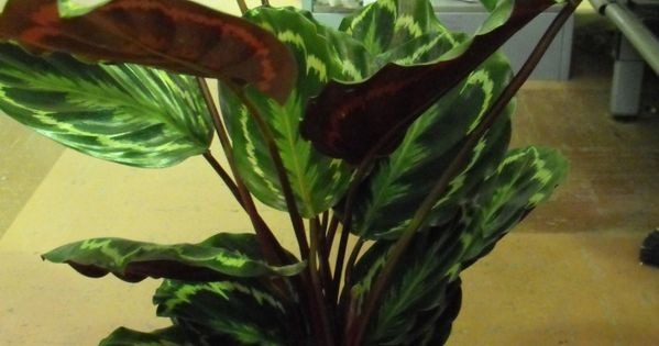 Rose Painted Calathea Prayer Plant Care Instructions