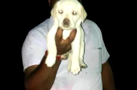 Heavy Size Apple Head And Short Tail Labrador Single Female Pup Available Female Rs 14500 Location Erode Transportation Availa In 2020 Apple Head Pup Madurai