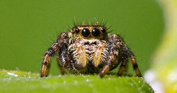 小さなクモに大きすぎる脳 脳の一部が 体にあふれ出している 種も クモ ハエトリグモ 体