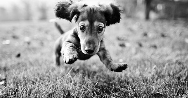 New Years Resolution: More cardio for Dachshund So cute - a puppy