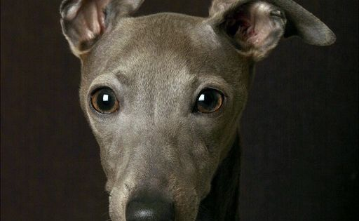 Italian Greyhound puppy ❤