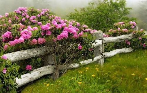 roses over rustic fence line