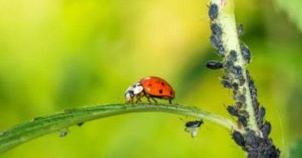 Blattlause Mit Knoblauch Bekampfen 3 Moglichkeiten Vorgestellt Pflanzen Blattlause Naturlich Bekampfen Schnecken Im Garten