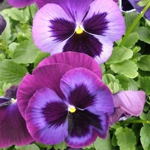 Majestic Giants 2 Blue Jeans Pansy Pansies Flowers Flower Seeds Annual Flowers