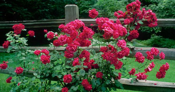 Red Rose Bush Blooms Profusely Next To Split Rail Fence In
