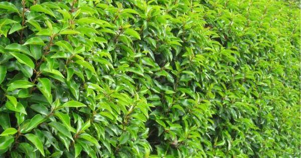 ein attraktiver buchsbaum ersatz ist der portugiesische lorbeer pflanzen pinterest. Black Bedroom Furniture Sets. Home Design Ideas