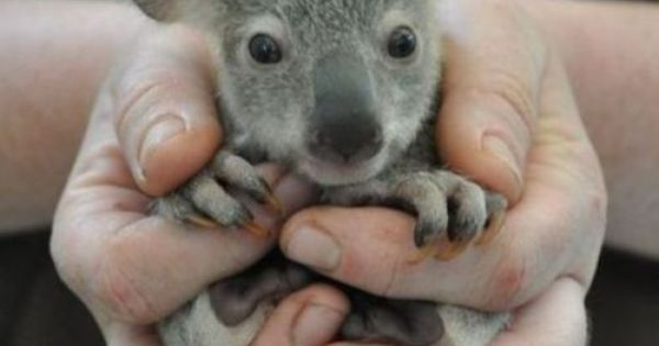 babykoala cutebignose