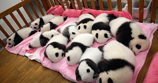 PANDA BABIES!! Panda Nursery at the Chengdu Research Base of Gian Panda