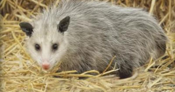One Of Our Readers Wrote On July 3 We Saw An Opossum Last Night Running Across Our Neighborhood Street In East Scarborough We Were Possum Ontario Opossum