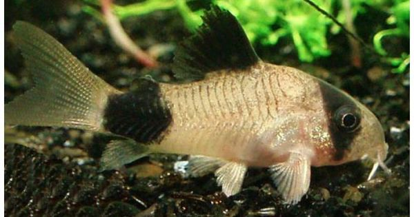Panda cory-have to add a few of these guys eventually, so adorable- my ...