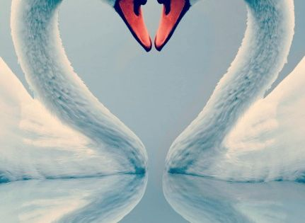 grace, soul-mate, awakening, longevity, swans have mates for life, if you have