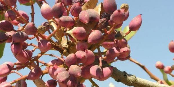 كيف يزرع الفستق Fruit Agriculture Grapes