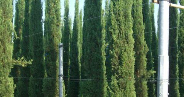 cupressus sempervirens mediterrane s ulenzypresse. Black Bedroom Furniture Sets. Home Design Ideas